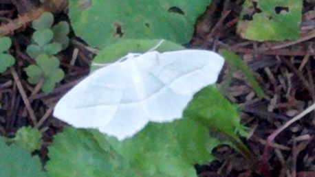 white butterfly small